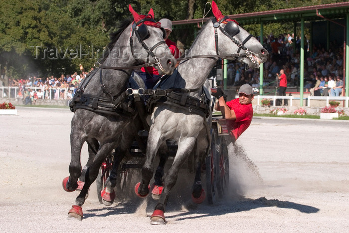 slovenia143: Slovenia - Lipica / Lipizza - Goriska region: Lipica stud farm - Combined driving event - Carriage Driving - racing in the 'marathon' - equestrian sport - photo by I.Middleton - (c) Travel-Images.com - Stock Photography agency - Image Bank