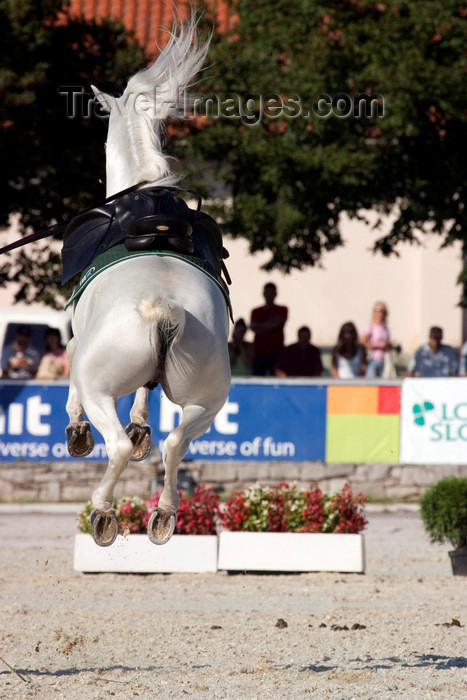 slovenia146: Slovenia - Lipica / Lipizza - Goriska region: Lipica stud farm - a lipizzaner horse jumps - airs above the ground - dressage - photo by I.Middleton - (c) Travel-Images.com - Stock Photography agency - Image Bank