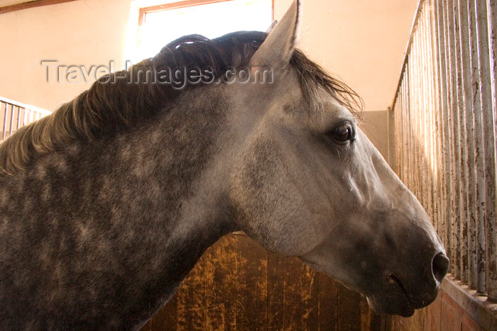 slovenia151: Slovenia - Lipica - Goriska region: Lipica stud farm - in the stables - young lipizzaner horse, still with gray colour - photo by I.Middleton - (c) Travel-Images.com - Stock Photography agency - Image Bank
