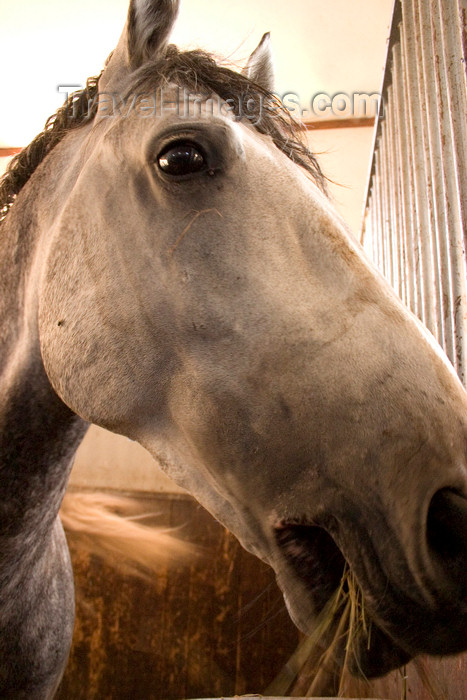 slovenia153: Slovenia - Lipica - Goriska region: Lipica stud farm - in the stables - lipizzaner horse close up - photo by I.Middleton - (c) Travel-Images.com - Stock Photography agency - Image Bank