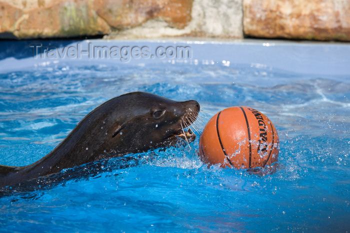 slovenia698: California sea lion playing with ball at Ljubljana zoo, Slovenia - photo by I.Middleton - (c) Travel-Images.com - Stock Photography agency - Image Bank
