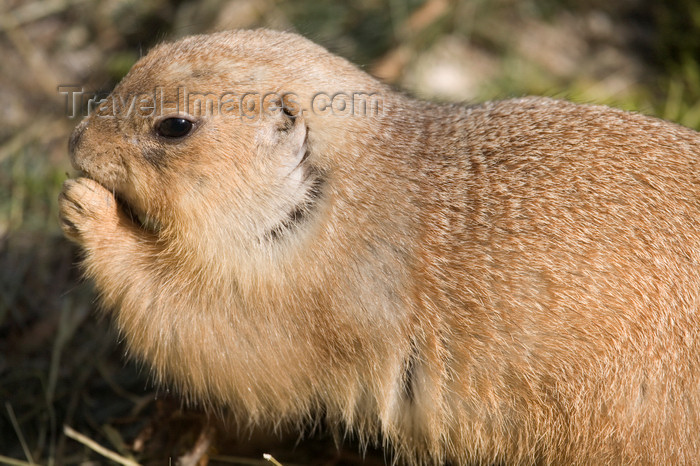 slovenia699: Prairie dog in Ljubljana zoo, Slovenia - photo by I.Middleton - (c) Travel-Images.com - Stock Photography agency - Image Bank
