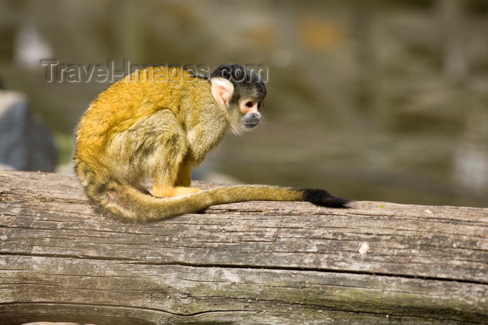 slovenia701: Squirrel monkey in Ljubljana zoo, Slovenia - photo by I.Middleton - (c) Travel-Images.com - Stock Photography agency - Image Bank