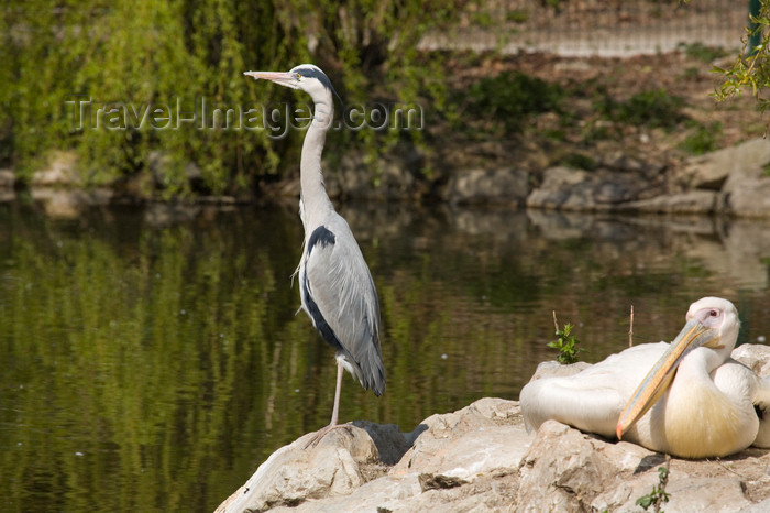 slovenia702: Heron and White Pelicans in Ljubljana zoo, Slovenia - photo by I.Middleton - (c) Travel-Images.com - Stock Photography agency - Image Bank