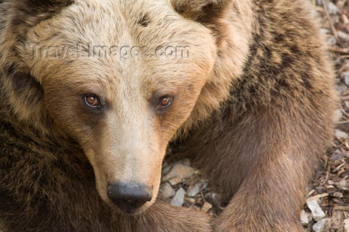 slovenia704: Brown bear in Ljubljana zoo, Slovenia - photo by I.Middleton - (c) Travel-Images.com - Stock Photography agency - Image Bank