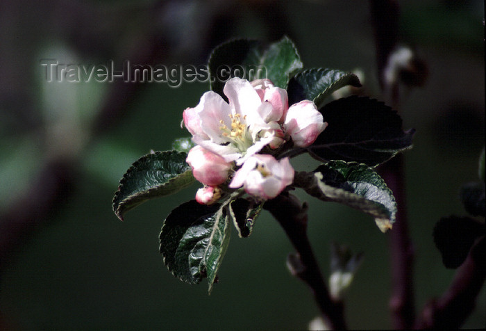 spai412: Spain - Cantabria - Cosgaya - peach tree flower - photo by F.Rigaud - (c) Travel-Images.com - Stock Photography agency - Image Bank