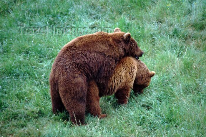 spai415: Spain - Cantabria - Parque de la Naturaleza de Cabárceno: bears copulating - photo by F.Rigaud - (c) Travel-Images.com - Stock Photography agency - Image Bank