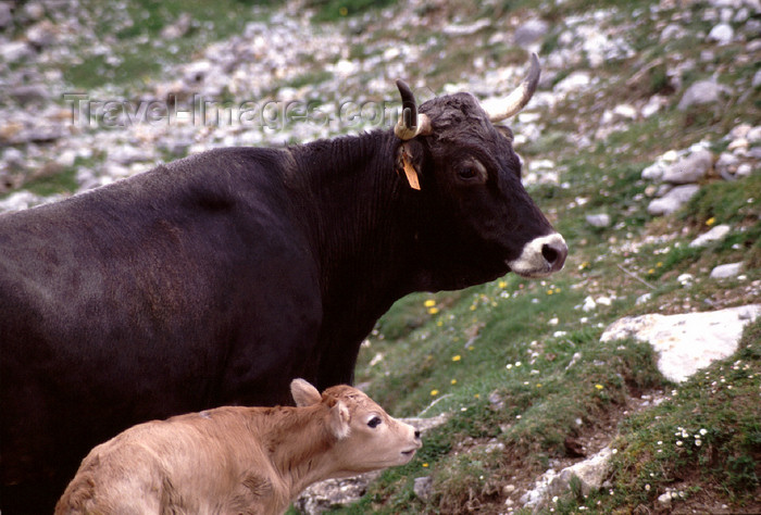 spai423: Spain - Cantabria - Áliva - mointain cows - photo by F.Rigaud - (c) Travel-Images.com - Stock Photography agency - Image Bank