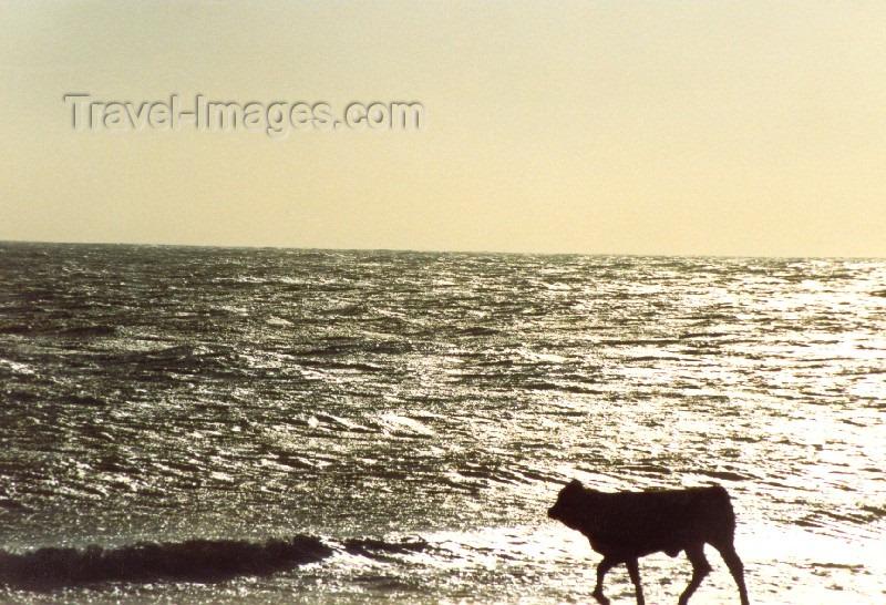 spai65: Spain / España - Zahara de los Atunes (Cadiz): cow on the beach - photo by Nacho Cabana - (c) Travel-Images.com - Stock Photography agency - Image Bank