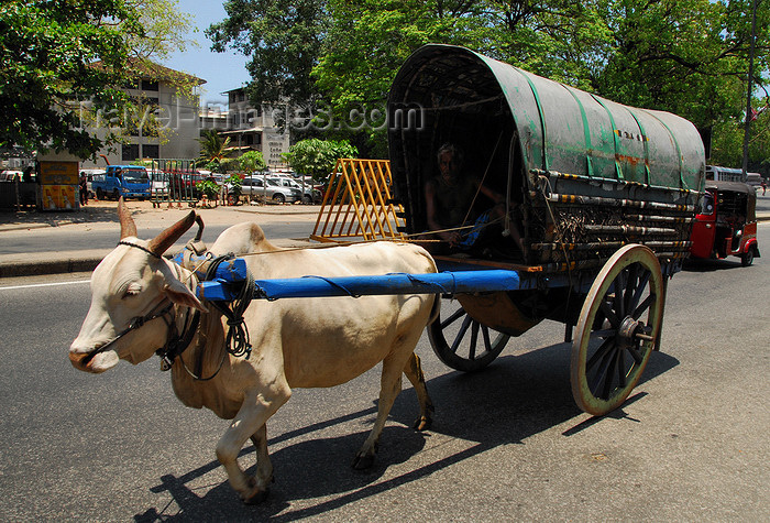 sri-lanka161: Colombo, Sri Lanka: draft zebu with cart - Lotus road - Fort - photo by M.Torres - (c) Travel-Images.com - Stock Photography agency - Image Bank