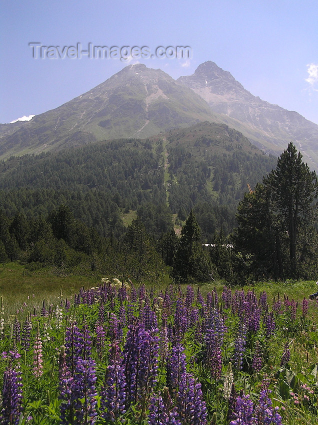 switz322: Switzerland - Maloja / Maloggia - Graubünden / Grigioni canton - flowers and mountains - Engadine valley - photo by J.Kaman - (c) Travel-Images.com - Stock Photography agency - Image Bank