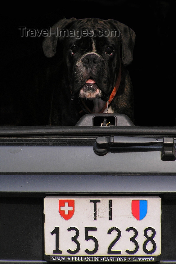 switz371: Switzerland - Bellinzona, Ticino canton: dog in a trunk - Swiss license plate - photo by J.Kaman - (c) Travel-Images.com - Stock Photography agency - Image Bank