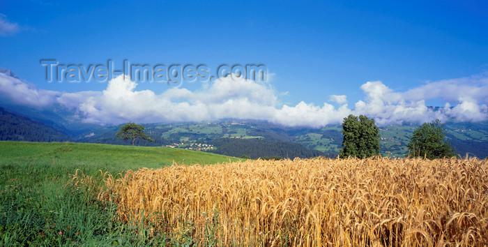switz385: Switzerland - Thusis, Graubünden / Grisons: wheat field - Hinterrhein valley - photo by W.Allgower - (c) Travel-Images.com - Stock Photography agency - Image Bank