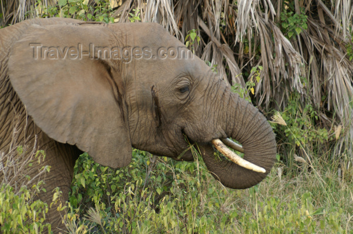 tanzania103: Tanzania - Elephant having lunch in Lake Manyara National Park - photo by A.Ferrari - (c) Travel-Images.com - Stock Photography agency - Image Bank