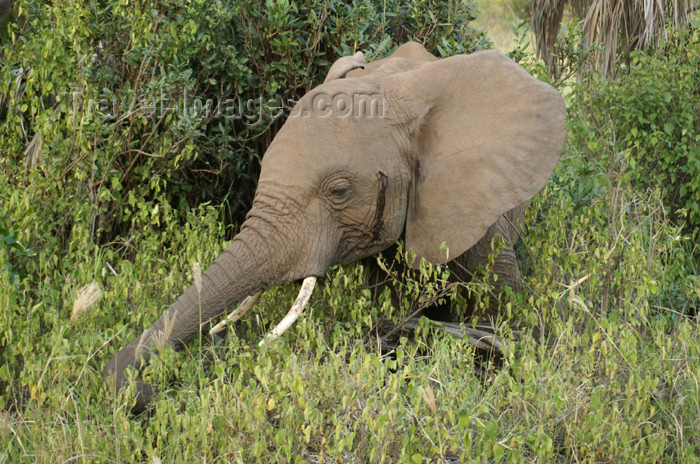 tanzania104: Tanzania - Elephant feeding in Lake Manyara National Park - photo by A.Ferrari - (c) Travel-Images.com - Stock Photography agency - Image Bank