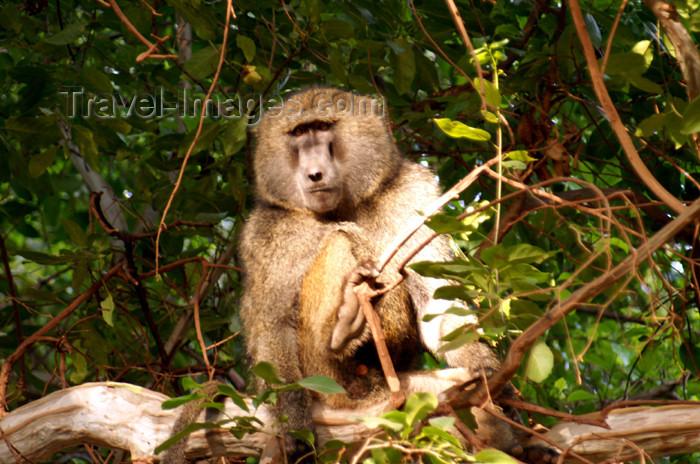 tanzania105: Tanzania - Baboon on a tree in Lake Manyara National Park - photo by A.Ferrari - (c) Travel-Images.com - Stock Photography agency - Image Bank