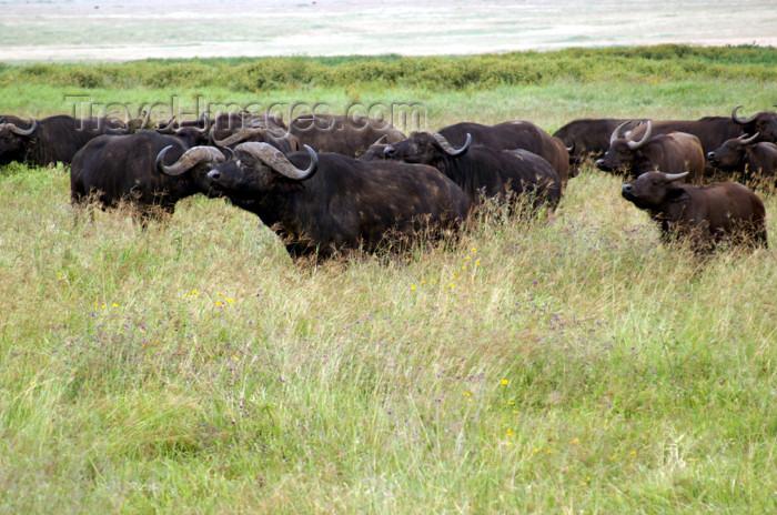 tanzania115: Tanzania - Buffalos in Ngorongoro Crater - photo by A.Ferrari - (c) Travel-Images.com - Stock Photography agency - Image Bank