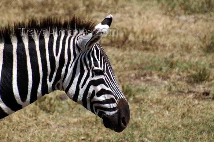 tanzania120: Tanzania - Zebra (close view) in Ngorongoro Crater - photo by A.Ferrari - (c) Travel-Images.com - Stock Photography agency - Image Bank