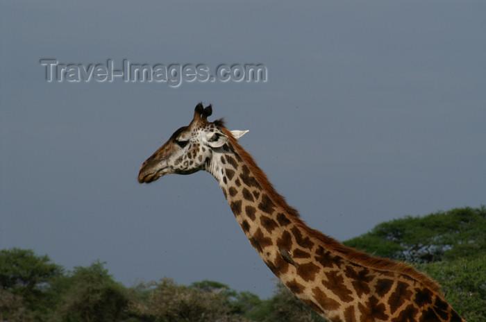 tanzania145: Tanzania - Giraffe- close - in Serengeti National Park - photo by A.Ferrari - (c) Travel-Images.com - Stock Photography agency - Image Bank