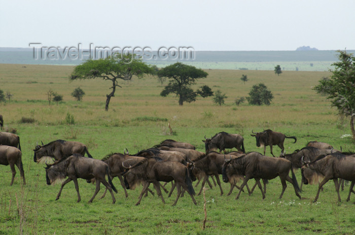 tanzania146: Tanzania - Wildebeest migration, Serengeti National Park - photo by A.Ferrari - (c) Travel-Images.com - Stock Photography agency - Image Bank