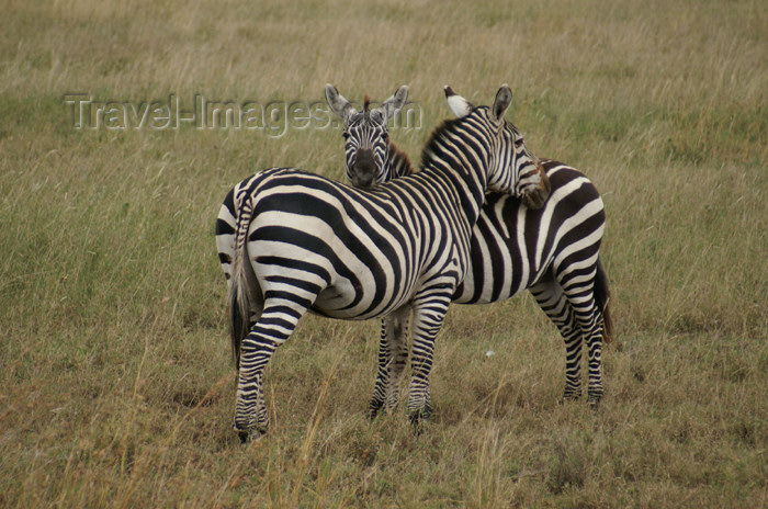 tanzania147: Tanzania - Zebras looking after each other, Serengeti National Park - photo by A.Ferrari - (c) Travel-Images.com - Stock Photography agency - Image Bank