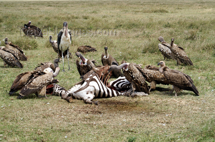 tanzania148: Tanzania - Vultures having zebra for lunch, Serengeti National Park - photo by A.Ferrari - (c) Travel-Images.com - Stock Photography agency - Image Bank