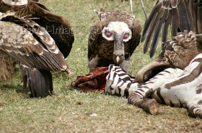 tanzania149: Tanzania - Vultures devouring a zebra, Serengeti National Park - photo by A.Ferrari - (c) Travel-Images.com - Stock Photography agency - Image Bank