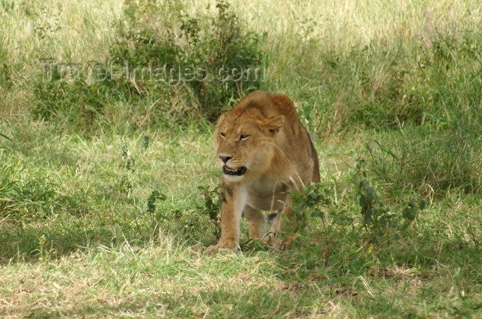 tanzania154: Tanzania - Young lion in Serengeti National Park - photo by A.Ferrari - (c) Travel-Images.com - Stock Photography agency - Image Bank