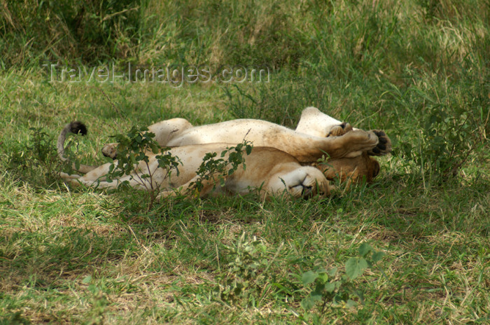 tanzania155: Tanzania - Young lion rolling in the grass, Serengeti National Park - photo by A.Ferrari - (c) Travel-Images.com - Stock Photography agency - Image Bank