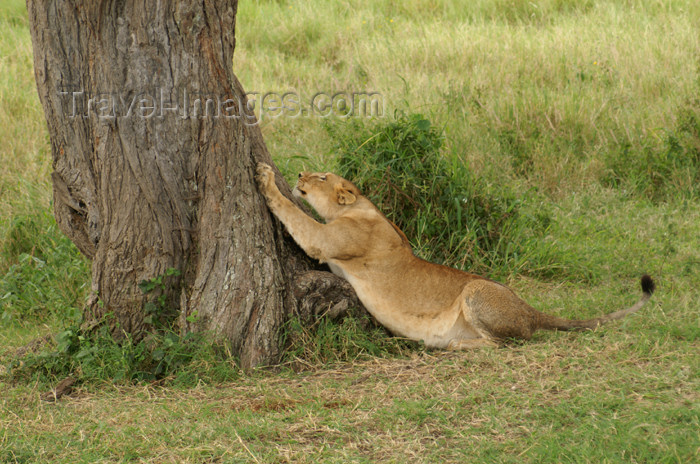 tanzania156: Tanzania - Young lion with claws on a tree in Serengeti National Park - photo by A.Ferrari - (c) Travel-Images.com - Stock Photography agency - Image Bank