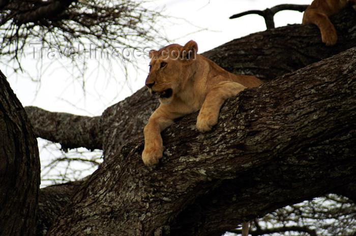 tanzania157: Tanzania - Lion in a tree, Serengeti National Park - photo by A.Ferrari - (c) Travel-Images.com - Stock Photography agency - Image Bank