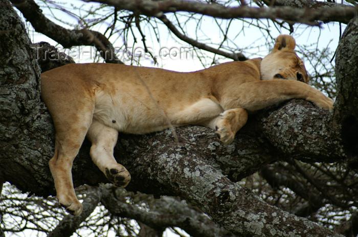 tanzania158: Tanzania - Lion sleeping in a tree, Serengeti National Park - photo by A.Ferrari - (c) Travel-Images.com - Stock Photography agency - Image Bank