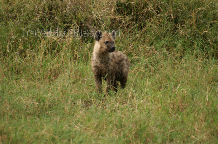 tanzania159: Tanzania - Hyena in Serengeti National Park - photo by A.Ferrari - (c) Travel-Images.com - Stock Photography agency - Image Bank