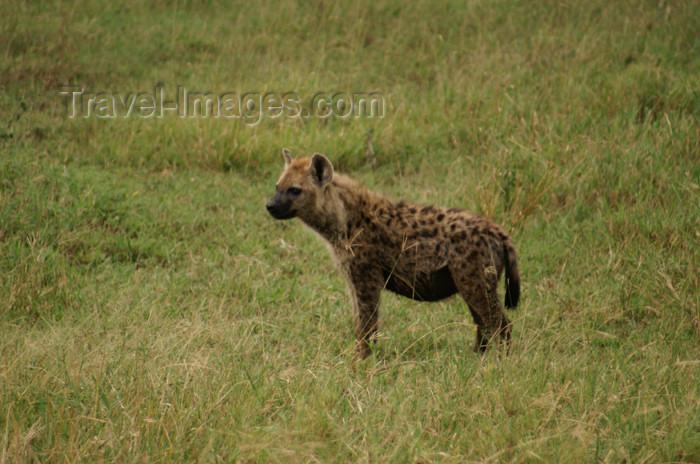 tanzania160: Tanzania - Hyena in Serengeti National Park - photo by A.Ferrari - (c) Travel-Images.com - Stock Photography agency - Image Bank