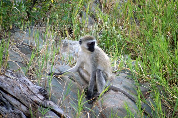 tanzania161: Tanzania - Vervet Monkey on a rock, Chlorocebus pygerythrus - in Serengeti National Park - photo by A.Ferrari - (c) Travel-Images.com - Stock Photography agency - Image Bank