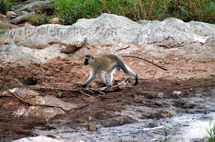 tanzania162: Tanzania - Vervet Monkey, Chlorocebus pygerythrus - in Serengeti National Park - photo by A.Ferrari - (c) Travel-Images.com - Stock Photography agency - Image Bank