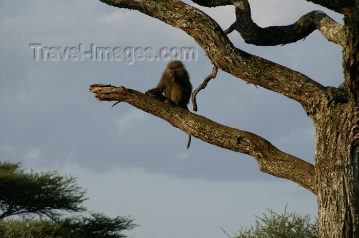 tanzania164: Tanzania - Baboon on a tree in Serengeti National Park - photo by A.Ferrari - (c) Travel-Images.com - Stock Photography agency - Image Bank