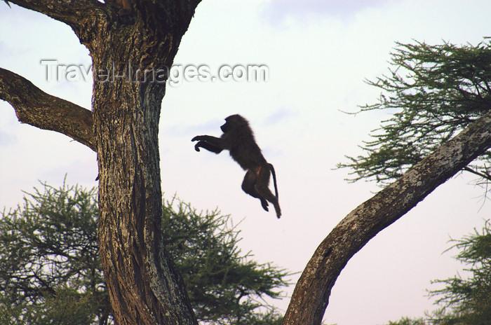 tanzania165: Tanzania - Baboon jumping between trees, Serengeti National Park - photo by A.Ferrari - (c) Travel-Images.com - Stock Photography agency - Image Bank