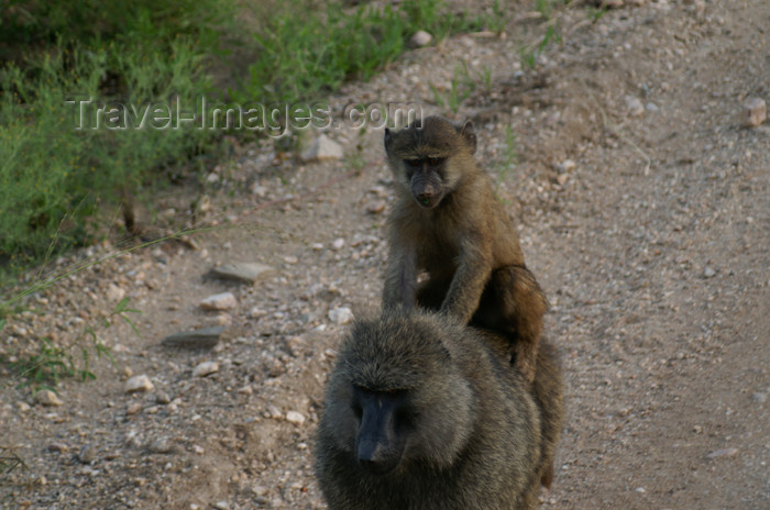 tanzania166: Tanzania - Baboons in Serengeti National Park - photo by A.Ferrari - (c) Travel-Images.com - Stock Photography agency - Image Bank