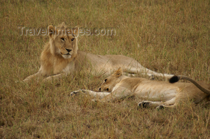 tanzania169: Tanzania - Young lions in Serengeti National Park - photo by A.Ferrari - (c) Travel-Images.com - Stock Photography agency - Image Bank