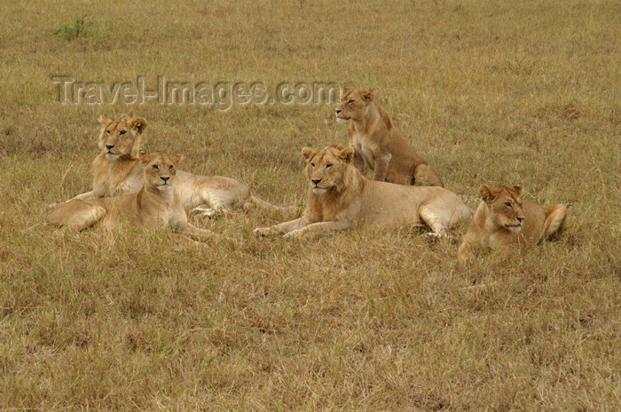 tanzania170: Tanzania - A group of young lions in Serengeti National Park - photo by A.Ferrari - (c) Travel-Images.com - Stock Photography agency - Image Bank