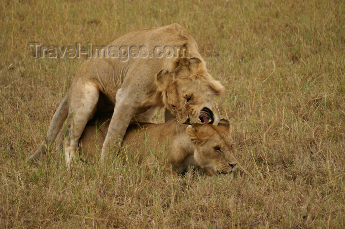 tanzania171: Tanzania - Young lions discovering the secrets of life, Serengeti National Park - photo by A.Ferrari - (c) Travel-Images.com - Stock Photography agency - Image Bank