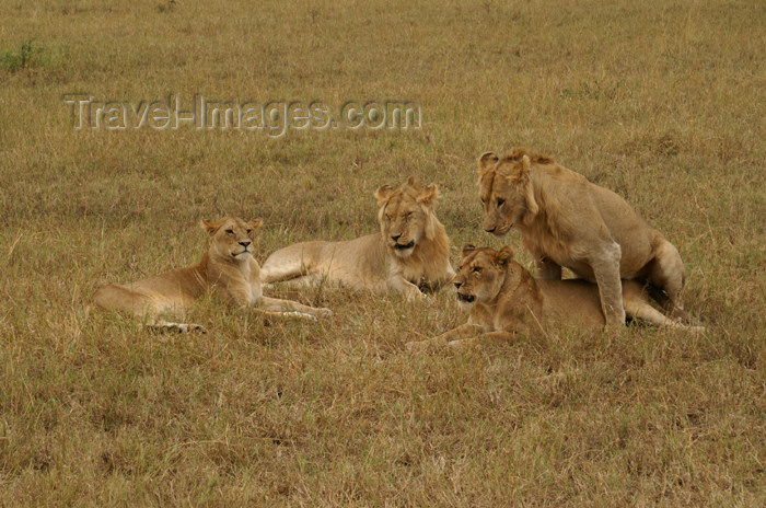 tanzania172: Tanzania - A group of lions discovering the secrets of life, Serengeti National Park - photo by A.Ferrari - (c) Travel-Images.com - Stock Photography agency - Image Bank