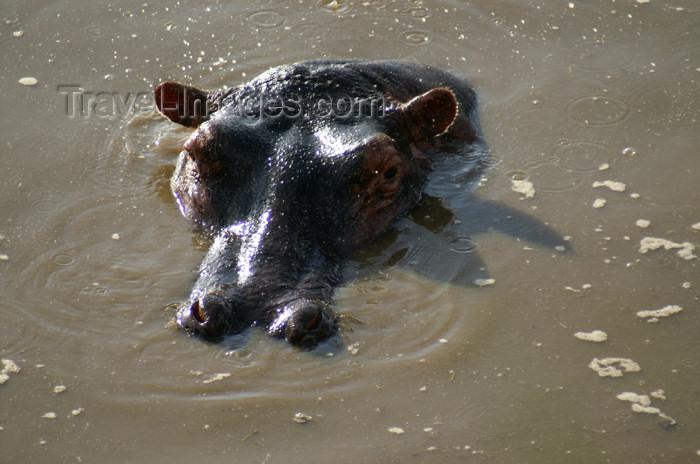 tanzania177: Tanzania - Hippopotamus (close view) in Serengeti National Park - photo by A.Ferrari - (c) Travel-Images.com - Stock Photography agency - Image Bank