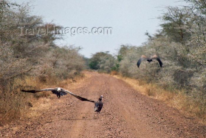 tanzania18: Tanzania - Tanganyika - Serengeti National Park: vultures lead the way - photo by N.Cabana - (c) Travel-Images.com - Stock Photography agency - Image Bank