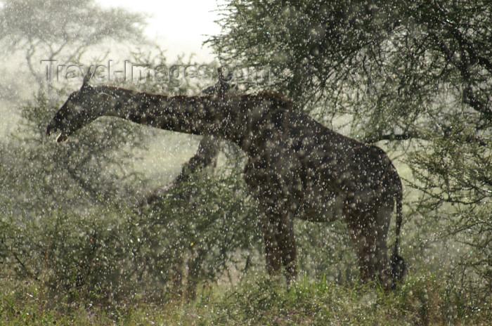 tanzania180: Tanzania - Giraffe in the rain, Serengeti National Park - photo by A.Ferrari - (c) Travel-Images.com - Stock Photography agency - Image Bank
