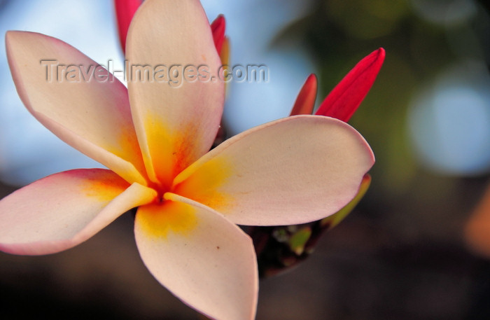 tanzania187: Dar es Salaam, Tanzania: the five petals of a white frangipani flower - plumeria - photo by M.Torres - (c) Travel-Images.com - Stock Photography agency - Image Bank