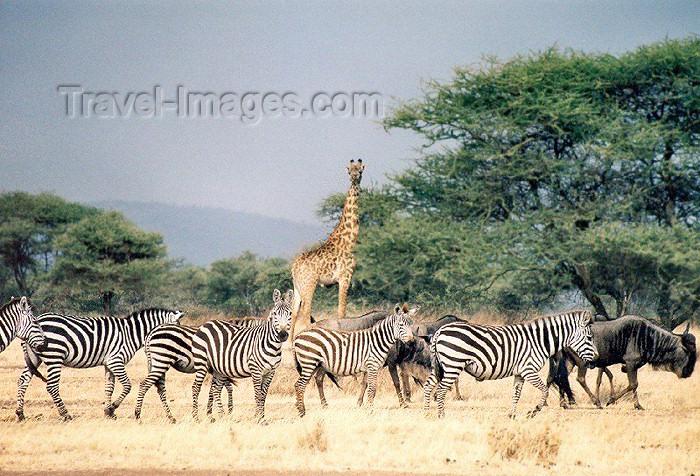 tanzania19: Tanzania - Tanganyika - Serengeti National Park: 'say cheese' - a giraffe, zebras and gnus pose - photo by N.Cabana - (c) Travel-Images.com - Stock Photography agency - Image Bank