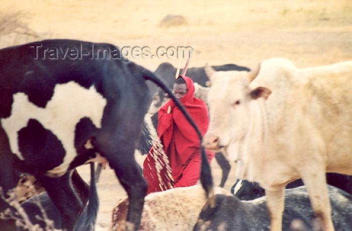 tanzania22: Tanzania - Tanganyika - Ngorongoro area, Africa: Masai shepherd among his herd - photo by N.Cabana - (c) Travel-Images.com - Stock Photography agency - Image Bank