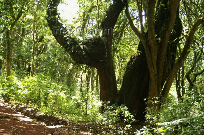 tanzania29: Tanzania - Kilimanjaro NP: Marangu Route - day 1 - tropical vegetation, in the rainforest - photo by A.Ferrari - (c) Travel-Images.com - Stock Photography agency - Image Bank